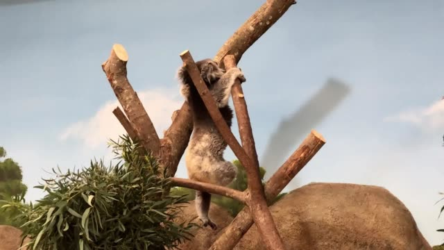 general views of the new koala creek enclosure at longleat safari park in wiltshire it will be the only place in europe to home a group of southern... - enclosure stock videos and b-roll footage