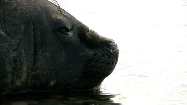 vídeos de stock, filmes e b-roll de general views of wildlife: seals / penguins / birds; elephant seal lying in shallow water / two elephant seals play-fighting in the water / close... - organismo aquático