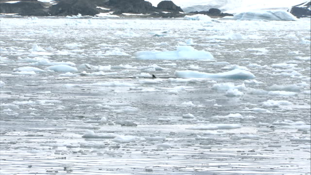 seals / penguins / birds sea surface covered with floating ice chunks and icicles seal's head seen at times / penguins preening on ice floe - preening animal behavior stock videos & royalty-free footage