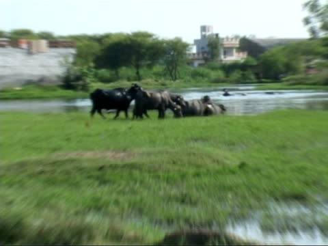 general views oxen in field and going into lake submerged in water - 牛車点の映像素材/bロール