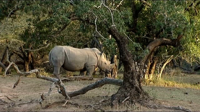 general views rhinoceros standing amongst trees in the wild two rhinos running head of dead rhino showing where ivory horn has been removed jeeps... - 象牙点の映像素材/bロール