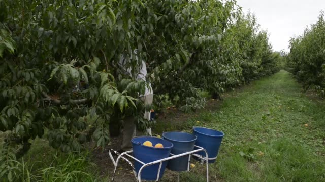 General views workers hand pick nectarines from a peach grove on a farm in Almenar Spain on Thursday Aug 21 Farm workers empty buckets of freshly...