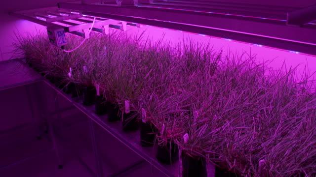 vídeos de stock e filmes b-roll de genetically modified ryegrass plants being grown under ultraviolet light in climate room at agresearch facility - modificação genética