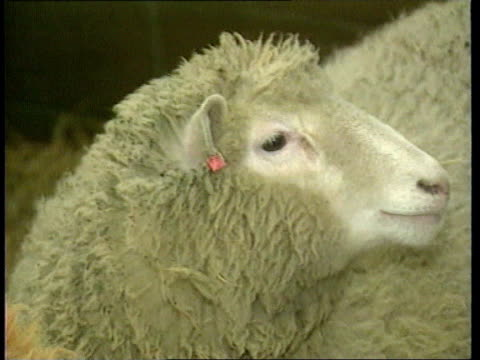 scientists clone piglets itn lib scotland edinburgh roslin institute dolly the sheep with red tag on ear gv dolly in barn - tag 2 stock-videos und b-roll-filmmaterial