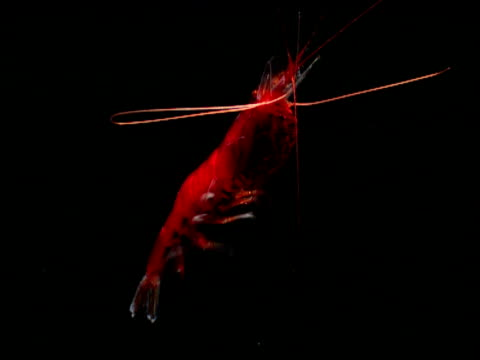 gennadas shrimp swims through black ocean, gulf of mexico - prawn animal stock videos and b-roll footage