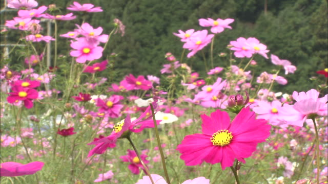 A gentle breeze blows through a field of cosmos.