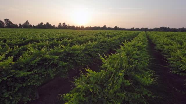 vídeos y material grabado en eventos de stock de gentle breeze moves rows of grape vines during a tranquil scene of a vineyard at sunrise. - viña