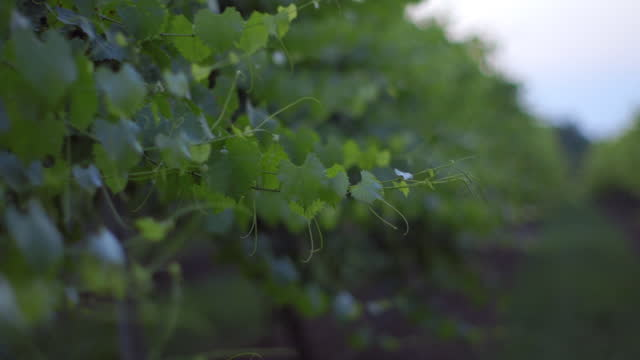 cu. gentle breeze moves through a row of grape vines during a tranquil scene of a vineyard at sunrise. - vine plant stock videos & royalty-free footage