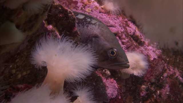gentle currents move debris and anemones around a fish on the pacific reef. - ranunculus stock videos & royalty-free footage