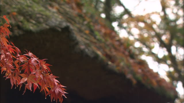 gentle rain falls on maple branches. - thatched roof stock videos & royalty-free footage