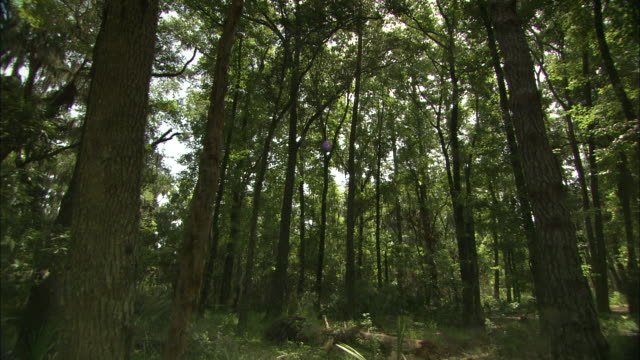 gentle sunlight filters through lush trees around the okefenokee swamp. - okefenokee national wildlife refuge stock videos and b-roll footage