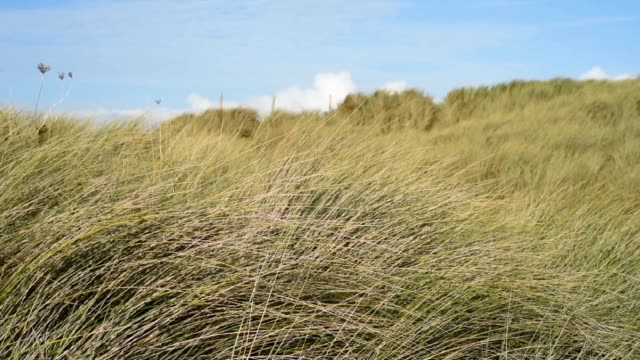 gently blowing through the dunes and grass-keremma. - オオハマガヤ属点の映像素材/bロール