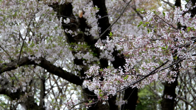 Gently falling petals of Yoshino cherry flowers in spring