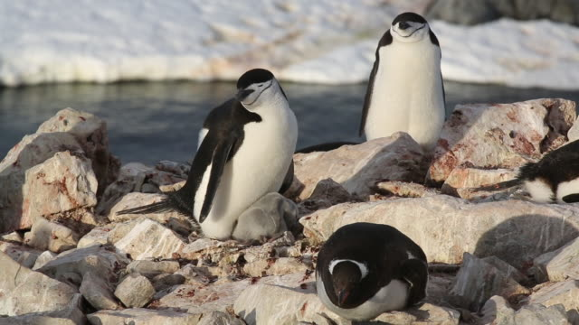 gentoo and chinstrap penguins congregate on rocks. - flightless bird stock videos & royalty-free footage