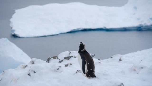 Gentoo penguin and icebergs