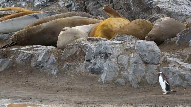 gentoo penguin and southern elephant seal, seal, mirounga leonina at elephant point, livingston island, south shetland islands, antarctica. - südlicher seeelefant stock-videos und b-roll-filmmaterial