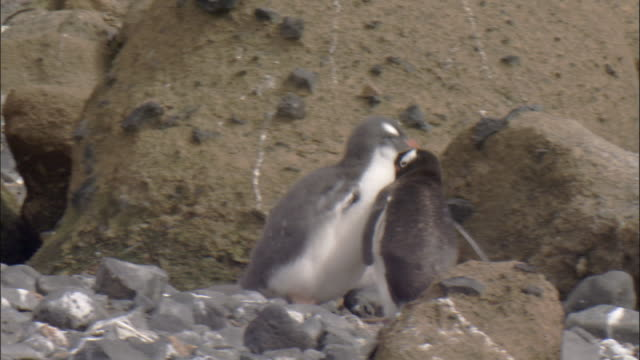 Gentoo penguin (Pygoscelis papua) at nest with chick begging forcibly
