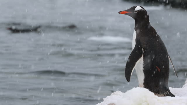 Gentoo Penguin at water's edge in Falling Snow