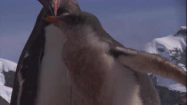 vidéos et rushes de a gentoo penguin chick approaches an adult. available in hd. - île de la géorgie du sud