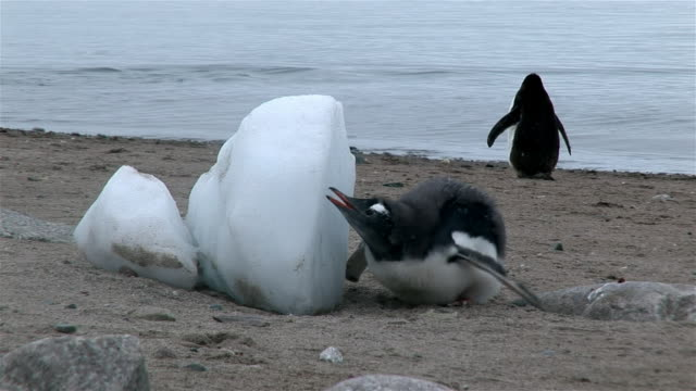 cu, gentoo penguin chick at snow block, neko harbour, antarctica - south pole stock videos & royalty-free footage