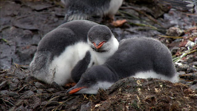 gentoo penguin chicks yawning and napping - mouth open stock videos and b-roll footage
