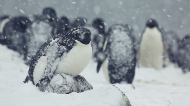 gentoo penguin colony amongst snowstorm - gentoo penguin stock videos and b-roll footage