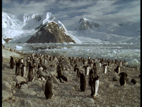vidéos et rushes de gentoo penguin colony on rock, ice flows past in background, antarctica - colony