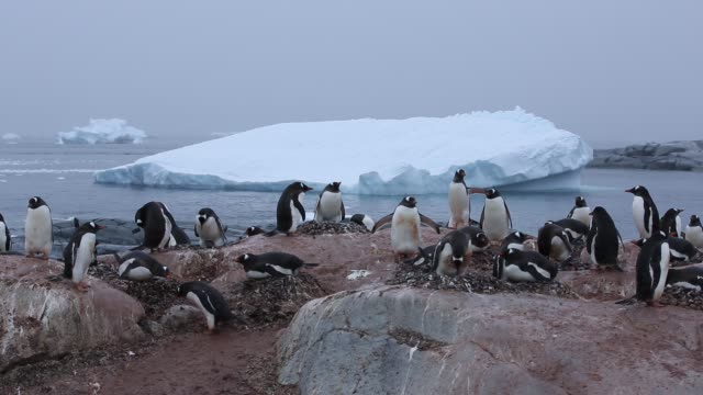 a gentoo penguin colony on useful island, antarctic peninsular. - gentoo penguin stock videos and b-roll footage