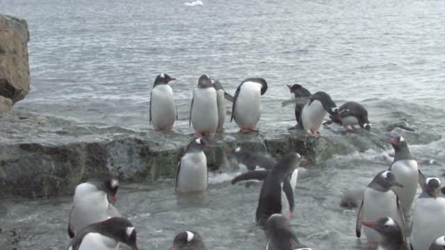 gentoo penguin (pygoscelis papua) colony practice swimming in pool, cuverville, antarctic peninsula - 陸地点の映像素材/bロール