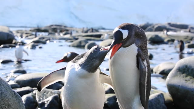 Gentoo Penguin feeding its chick in slow motion, possible to see food being transferred.