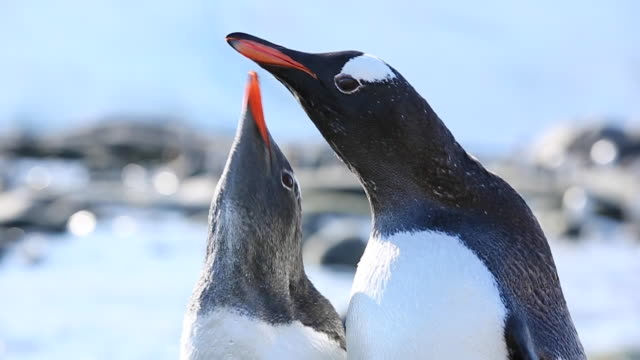 gentoo penguin feeding its chick in slow motion, possible to see food being transferred. - 雛鳥点の映像素材/bロール