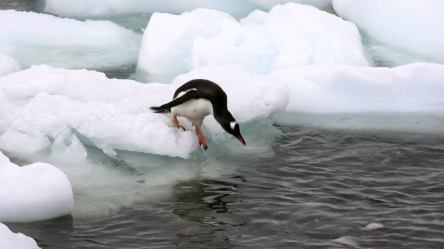 gentoo penguin jumps from bergy bit into water, cuverville, antarctic peninsula, southern ocean - penguin stock videos & royalty-free footage