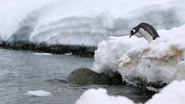 Gentoo Penguin leaps into ocean in Falling Snow