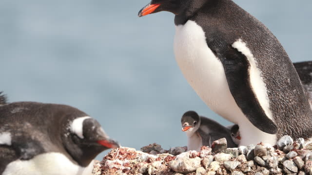 Gentoo Penguin on nest with two young Chicks