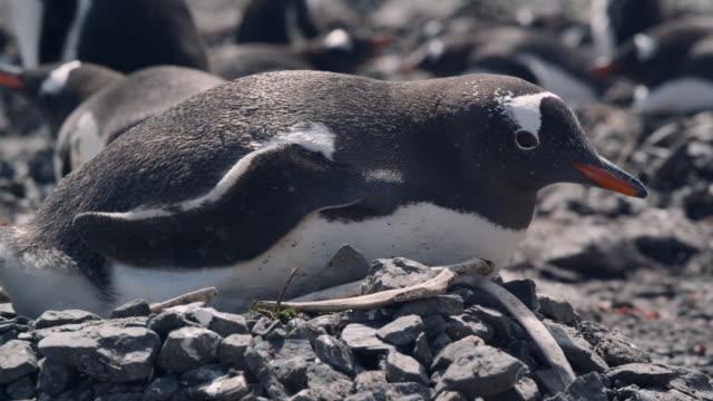 gentoo penguin on rocky nest, south georgia - penguin stock videos & royalty-free footage