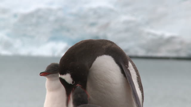 Gentoo penguin (Pygoscelis papua) parent feeds chicks. Sub Antarctic islands