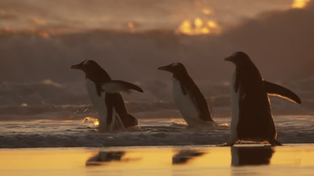 ms ts gentoo penguin pygoscelis papua at sunset in shallows and some diving into waves / volunteer point, falkland islands - gentoo penguin stock videos and b-roll footage