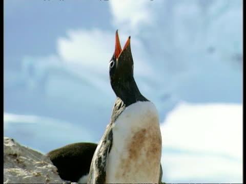 vídeos y material grabado en eventos de stock de cu gentoo penguin, pygoscelis papua, calling out, blue sky in background, antarctica - comportamiento de animal