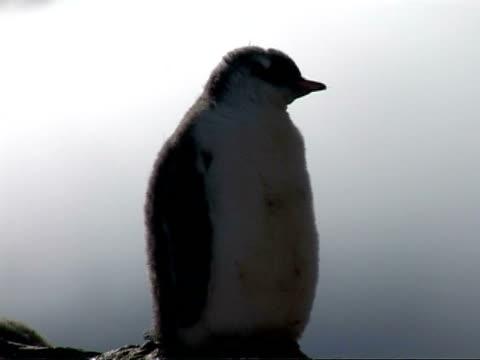 cu gentoo penguin, pygoscelis papua, chick on rock, preening, antarctica - preening animal behavior stock videos & royalty-free footage