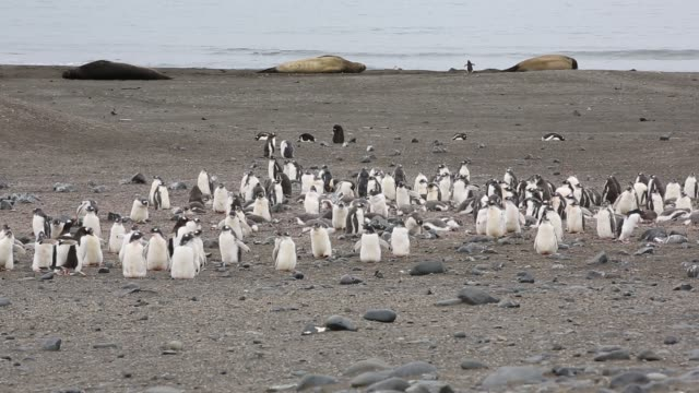 gentoo penguin, pygoscelis papua chicks and southern elephant seal, mirounga leonina at elephant point; livingston island; bransfield strait; south shetland islands; antarctica. - elefante marino del sud video stock e b–roll