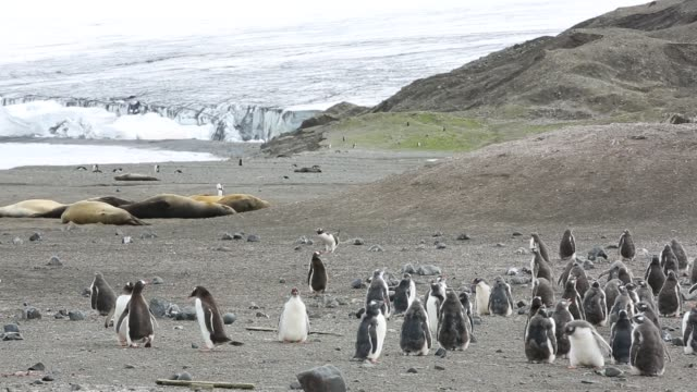 gentoo penguin, pygoscelis papua chicks and southern elephant seal, mirounga leonina at elephant point; livingston island; bransfield strait; south shetland islands; antarctica. - südlicher seeelefant stock-videos und b-roll-filmmaterial