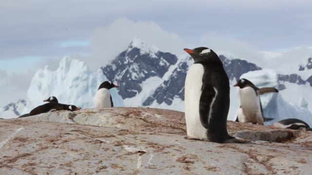 vídeos y material grabado en eventos de stock de gentoo penguin, pygoscelis papua on useful island, gerlache strasit, antarctic peninsular. - excremento