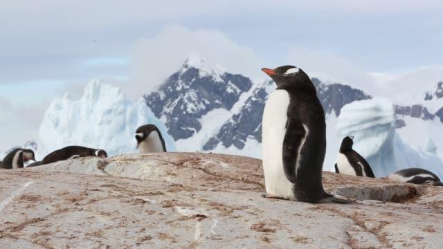 gentoo penguin, pygoscelis papua on useful island, gerlache strasit, antarctic peninsular. - pinguin stock-videos und b-roll-filmmaterial