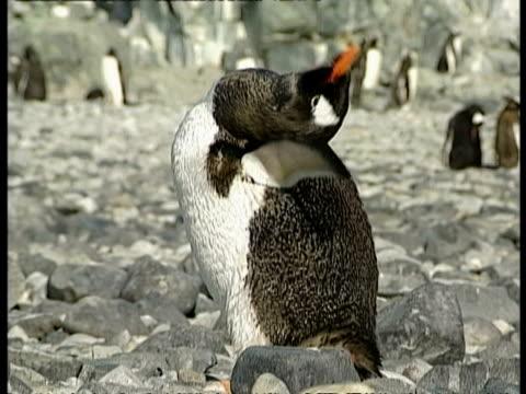 vidéos et rushes de cu gentoo penguin, pygoscelis papua, preening itself, antarctica - se lisser les plumes