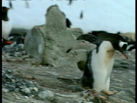 ms gentoo penguin, pygoscelis papua, waddling around on rocky ground amongst nests and colony, antarctica - waddling stock videos and b-roll footage