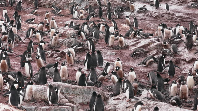 gentoo penguin rookery, cuverville, antarctic peninsula, southern ocean - antarctica ocean stock videos & royalty-free footage
