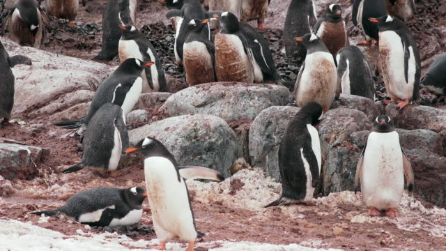 stockvideo's en b-roll-footage met gentoo penguin rookery, cuverville, antarctic peninsula, southern ocean - colony