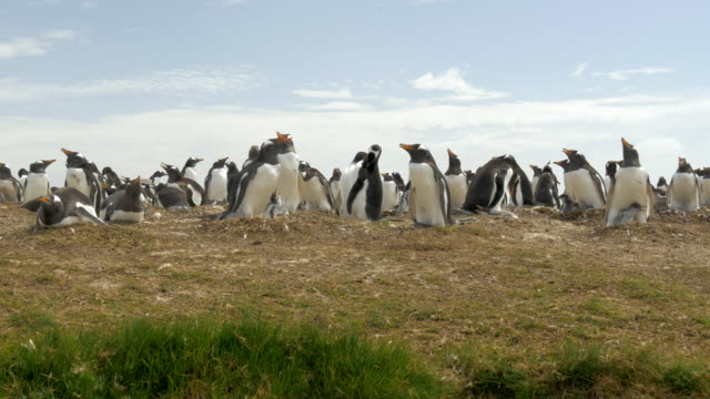 gentoo penguin rookery in falkland islands, wide pan - gentoo penguin stock videos and b-roll footage