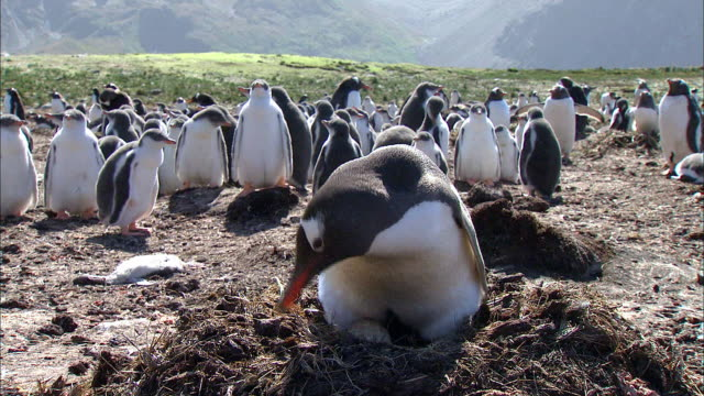 gentoo penguin sitting on egg - gentoo penguin stock videos and b-roll footage