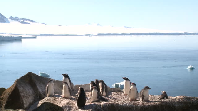 Gentoo penguin (Pygoscelis papua), small group parents and chicks with nice light and scenic. Brown Bluff, Antarctica